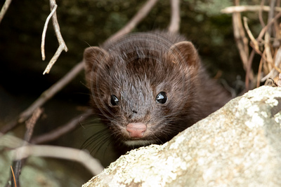 Minks and Muskrats