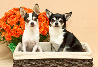 Chihuahua's with fall background