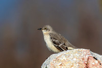 Mockingbird on a rock