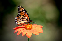 Monarch on an orange flower