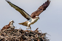 Osprey in Crown Point, NY