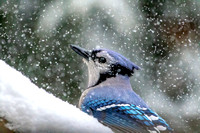Blue Jay in a snow storm